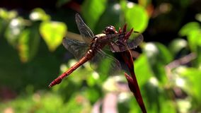 Dragonfly riding the breeze on an orchid stem stock video