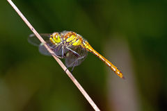 Dragonfly sitting on a blade Stock Photos