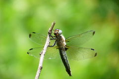 Dragonfly. Sitting on a branch Stock Photos