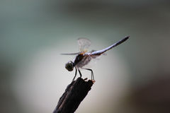 Dragonfly sitting on a branch Stock Image