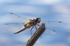 Dragonfly sitting on a branch Stock Images