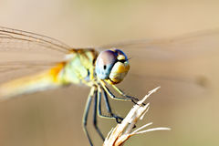 Dragonfly sitting on a branch. Closeup a photo Stock Photo