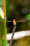 Dragonfly sitting on a branch with glistening light of waves Royalty Free Stock Photo