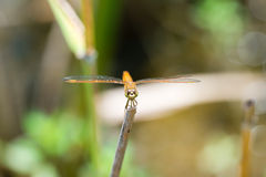 Dragonfly sitting on a branch with glistening light of waves Royalty Free Stock Photos
