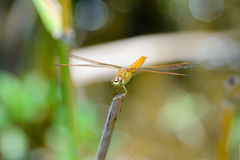 Dragonfly sitting on a branch with glistening light of waves Stock Images