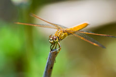 Dragonfly sitting on a branch with glistening light of waves Royalty Free Stock Images