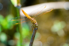 Dragonfly sitting on a branch with glistening light of waves Stock Photo