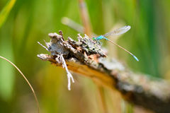 Dragonfly sitting on a branch with glistening light of waves Royalty Free Stock Photography