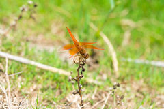 Dragonfly sitting on a branch with glistening light of waves Stock Photography