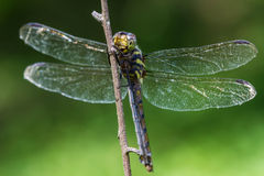Dragonfly sitting on a branch Royalty Free Stock Photo