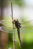 Dragonfly sitting on a branch Royalty Free Stock Image