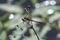 Dragonfly sitting on a branch. Royalty Free Stock Photo