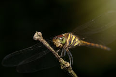 Dragonfly sitting on a branch. Dragonfly resting on a branch in dark background Royalty Free Stock Photo