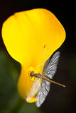 Dragonfly sitting on calla lily flower Stock Image