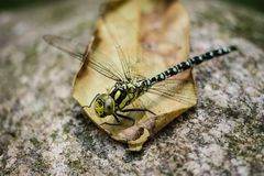 Dragonfly sitting on dry leave. With a blurred dark green background stock image