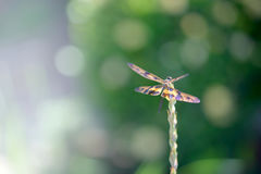 Dragonfly sitting on a flower bud Royalty Free Stock Images
