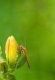Dragonfly sitting on the flower buds of daylilies on blurred green background with place for text vertical location of Royalty Free Stock Image
