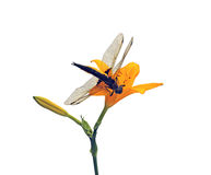 Dragonfly sitting on a flower daylily isolated Royalty Free Stock Photos