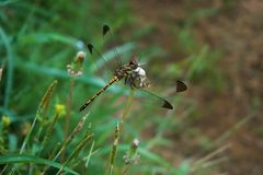 A dragonfly sitting on a grass blade. A dragonfly sitting on a grass leaf was photographed close royalty free stock image