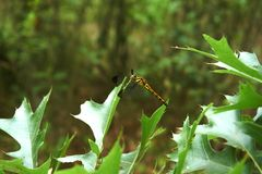A dragonfly sitting on a grass blade. A dragonfly sitting on a grass leaf was photographed close stock photo