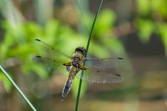 Dragonfly on the grass Royalty Free Stock Image