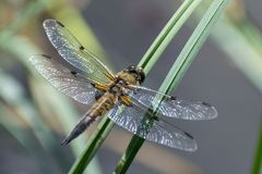 Dragonfly on the grass Stock Image