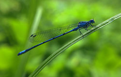 Dragonfly is sitting on green grass. The Dragonfly is sitting on green grass Stock Image
