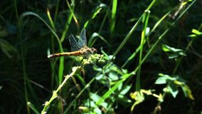 The Dragonfly sitting on green grass is close stock video footage