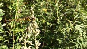 Dragonfly sitting on green grass is close stock footage