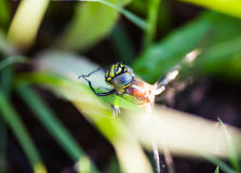 Dragonfly sitting on the green grass. Closeup of the dragonfly sitting on the green grass Royalty Free Stock Photography