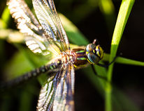 Dragonfly sitting on the green grass. Closeup of the dragonfly sitting on the green grass Royalty Free Stock Images