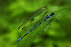 Dragonfly sitting on green leaf Royalty Free Stock Photo