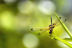 The dragonfly sitting on green leaf Stock Photo