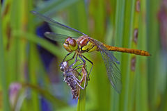 Dragonfly sitting on its grub Royalty Free Stock Images