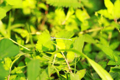 Dragonfly. Sitting on  leaf  in greenary Stock Photography