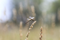 Dragonfly sitting on meadow in a Sunny day Stock Images