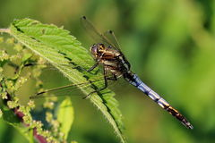Dragonfly sitting on nettles leaf Stock Image