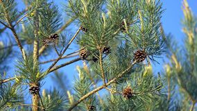 Dragonfly sitting on pine cone. Conifer forrest.