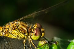 Dragonfly sitting on the plant extreme close up of insect royalty free stock photo