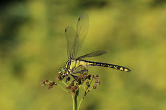 Dragonfly sitting on plant. Dragonfly sitting and resting on plant Stock Photo