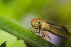 Dragonfly sitting on a plant. Dragonfly resting on a plant in the summer Stock Photos