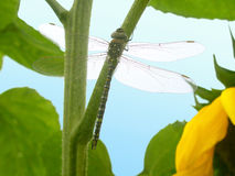 Dragonfly sitting on a plant Royalty Free Stock Photography