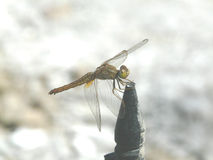 Dragonfly, sitting on the pole. Dragonfly sat on the fence post Stock Photo