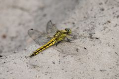 Dragonfly sitting on sea sand. Yellow-winged darter - close up Royalty Free Stock Images
