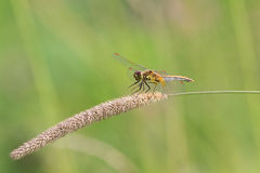 Dragonfly sitting on the spikelet on a green meadow stock photo