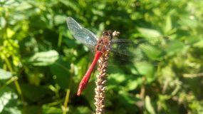 Dragonfly. Sitting still Royalty Free Stock Image