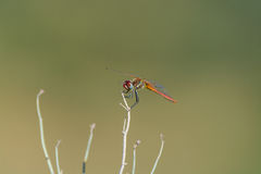 Dragonfly sitting on top of a stalk Royalty Free Stock Images