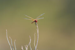 Dragonfly sitting on top of a stalk Stock Photos