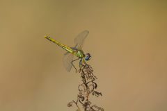 Dragonfly sitting on top of a stalk Royalty Free Stock Photos
