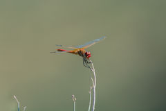 Dragonfly sitting on top of a stalk Royalty Free Stock Photography